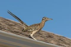 Maior Roadrunner no telhado da casa imagem de stock