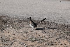 Maior Roadrunner o pássaro de estado de New mexico foto de stock