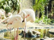 Maior ruber de Phoenicopterus do flamingo Fotografia de Stock
