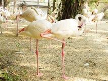Maior ruber de Phoenicopterus do flamingo Foto de Stock Royalty Free