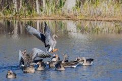 Maiores albifrons de peito branco do Anser dos gansos que nadam em uma lagoa imagem de stock royalty free