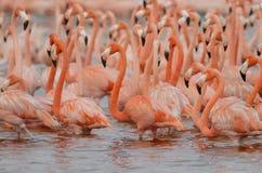 Maiores flamingos Imagens de Stock