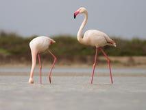 Maiores flamingos Fotos de Stock Royalty Free