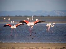 Maiores flamingos Imagem de Stock