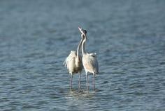 Maiores flamingos bonitos Imagem de Stock Royalty Free