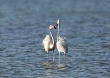 Maiores flamingos bonitos Imagens de Stock