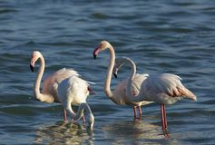 Maiores flamingos bonitos que alimentam e que estão no mar de Barém Imagens de Stock Royalty Free