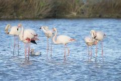 Maiores flamingos de Camargue França Fotografia de Stock Royalty Free