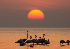Maiores flamingos e o sol da manhã fotografia de stock