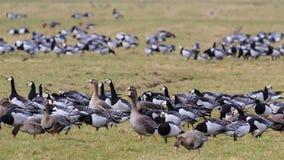 Maiores gansos de craca de peito branco do en Imagem de Stock Royalty Free