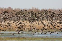 Maiores gansos de peito branco em voo Foto de Stock
