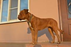 A maioria de cão dogue de Bordéus espera o proprietário Fotos de Stock