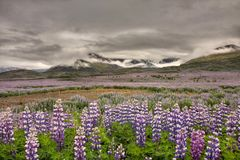 A maioria de flor islandêsa famosa Fotos de Stock