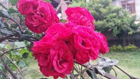 A maioria de rosas vermelhas bonitas nunca na terra Foto de Stock