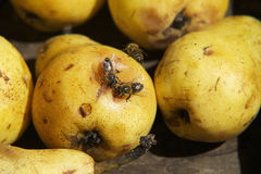 Mais abelhas Imagens de Stock Royalty Free