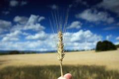 Mais auf dem Feld Stockbild