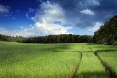 Mais auf dem Feld Lizenzfreies Stockfoto
