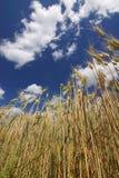 Mais auf dem Feld und dem erstaunlichen Himmel Stockbilder