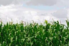 Mais auf dem Gebiet auf Himmelhintergrund Stockfotos