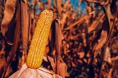 Mais auf dem Gebiet stockbilder