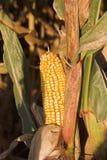 Mais auf dem Stiel Stockbilder