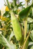 Mais auf dem Stiel Lizenzfreie Stockfotografie
