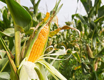 Mais auf dem Stiel Lizenzfreies Stockbild
