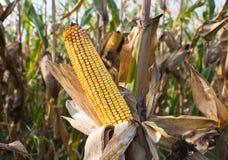 Mais auf dem Stiel Lizenzfreies Stockfoto