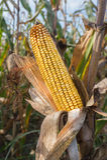 Mais auf dem Stiel Stockfoto
