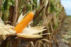 Mais auf dem Stiel auf dem Gebiet Lizenzfreie Stockfotos
