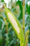 Mais auf dem Stiel auf dem Maisgebiet lizenzfreie stockbilder