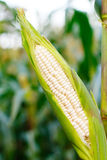 Mais auf dem Stiel auf dem Maisgebiet stockfoto