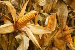 Mais auf den Gebieten Lizenzfreies Stockbild