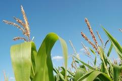Mais auf einem Gebiet lizenzfreies stockbild