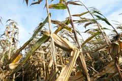 Mais auf einem landwirtschaftlichen Feld Stockbild