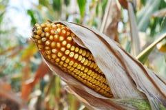 Mais auf einem Nahaufnahmegebiet stockfoto