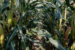 Mais auf Feld Lizenzfreie Stockfotos