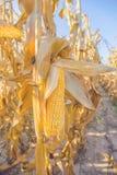Mais auf Stiel Stockbild