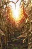 Mais auf Stiel auf dem bebauten Maisgebiet bereit zu ernten Stockfotografie
