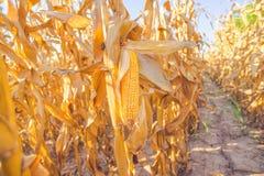 Mais auf Stiel auf dem Maisgebiet lizenzfreie stockbilder