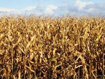 Mais betriebsbereit zu ernten Lizenzfreies Stockfoto