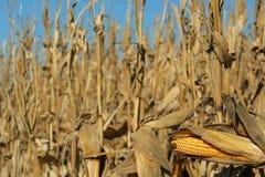 Mais betriebsbereit zur Ernte Stockfotos