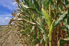Mais betriebsbereit zur Ernte Stockfotografie