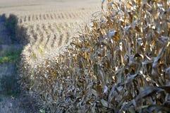 Mais betriebsbereit zur Ernte lizenzfreies stockbild