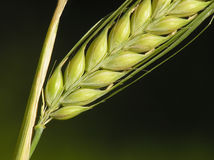 Mais betriebsbereit zur Ernte Stockbilder