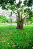 Mais da árvore e os ramos de árvore são parkland em Banguecoque, Tailândia Imagens de Stock
