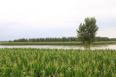 Mais ed alberi nell'inondazione, Luannan, Hebei, Cina. Fotografia Stock Libera da Diritti