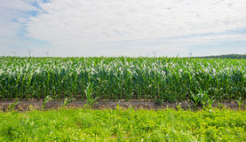 Mais, der auf einem Gebiet im Sommer wächst Stockbild