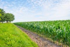 Mais, der auf einem Gebiet im Sommer wächst Stockfoto