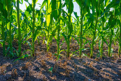 Mais, der auf einem Gebiet im Sommer wächst Lizenzfreie Stockfotos